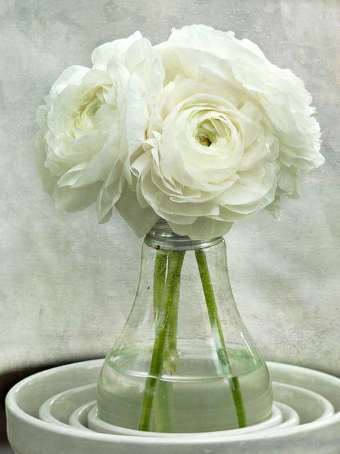 White on White Ranunculus Flower Bouquet -- Spring Botanical -- Floral Still Life - Explored!  Thank you, all!